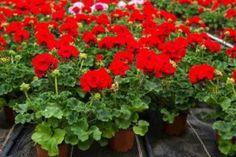 Niciodată nu am mai văzut ca mușcata să înflorească atât de bogat! Iată un remediu simplu! - Fasingur Home And Garden, Herbs, Plants, Gardening, Chill Pill, Get Lean, Geraniums, Growing Plants, Indoor Plants