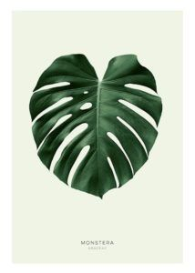 Using monstera deliciosa on your decor. Tips, how to mantain the real plant and what to do if you don't have a green thumb.