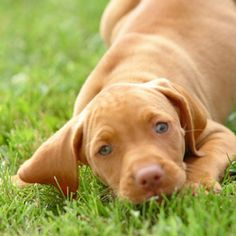 Vizsla puppy! I want one do bad.