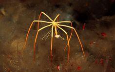 Araña de mar de La Antartida