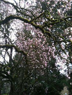 Spring magnolias on the UO campus