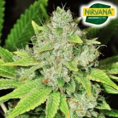 Original Glue Autoflower Cannabis Seeds In South Africa Growing Weed, Cannabis Seeds For Sale, Seed Bank, Weed Seeds, Tall Plants, Fruit Garden, Hydroponics, Earthy, Black Mamba