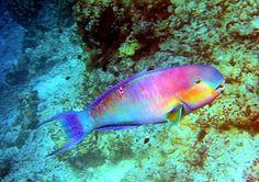 Les poissons perroquets forment une grande famille de poissons tropicaux aux couleurs vives, répartie sur toute la surface du globe. Les poissons perroquets abondent dans l'océan Pacifique, autour des récifs de corail : ils ne peuvent vivre que dans des eaux chaudes.