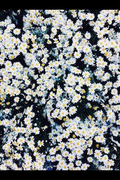 Daisys everywhere.