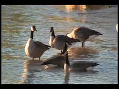 Canada Geese - season - fall, symbol, animal needs (imperial measures used - have metric ready) 14 min. THE MIGRATION OF THE CANADA GOOSE