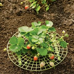 Strawberry Supports {Gardener's Supply Co.}