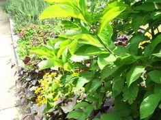 butterfli plant, spice bush, habitat garden, butterfli habitat, decidu shrub