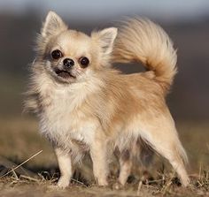 Frequently Asked Questions About Chihuahua dogs. Types Of Chihuahua, Chihuahua Breeds, Chihuahua Puppies, Dog Breeds, Dogs And Puppies, Funny Chihuahua, Pet Dogs, Dog Quotes Funny, Funny Dogs