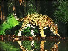 A onça-pintada (português brasileiro) ou jaguar (português europeu) (nome científico: Panthera onca), também conhecida por onça-preta (no caso dos indivíduos melânicos), é uma espécie de mamífero carnívoro da família Felidae encontrada nas Américas. É o terceiro maior felino do mundo, após o tigre e o leão, e o maior do continente americano. Apesar da semelhança com o leopardo (Panthera pardus) é evolutivamente mais próxima ao leão (Panthera leo).