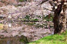 Hirosaki-shi, aomori-ken, Japanで撮影された弘前公園(Hirosaki Park)の写真 弘前公園内堀の桜の古木 (Old cherry blossom tree in Hirosaki Park) : パシャデリック