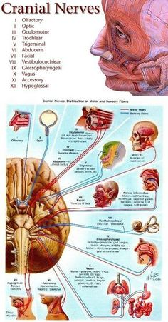 """Cranial Nerves- My nursing school pneumonic to remember them:""""On Old Olympus Towering Tops a Fin and German Viewed Some Hops"""""""