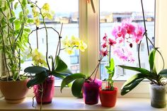 Cattleya orchid plants produce some of the brightest, most uniquely formed flowers in the orchid world. Read this article to learn more about growing these orchids. Orchid Plants, All Plants, Indoor Plants, Potted Plants, Orchid Repotting, Repotting Succulents, Plant Pots, Orchid Fertilizer, Orchid Roots