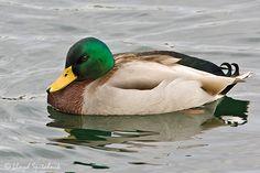 mallard photos - Google Search