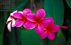 Cluster of bright pink plumeria on Oahu