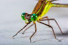 トンボ, 昆虫, クローズ, 目, 緑