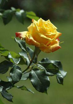 Yellow rose by Olena Liubchenko on 500px