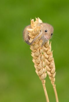 Harvest Mouse, British Wildlife Centre in Surrey United Kingdom; photo by .Ken Hadfield