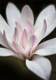 Magnolia my most favourite bloom Flowers Nature, Exotic Flowers, Amazing Flowers, My Flower, Spring Flowers, Flower Art, Beautiful Flowers, Lotus Flower, Flor Magnolia