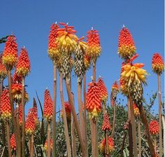 Kniphofia Plant | How to Grow Torch Lily, Red Hot Pokers