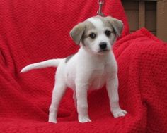 Meet Ace, a Petfinder adoptable Great Pyrenees Dog | Mountain Home, AR | OMG what a cutie!Well hello there. My name is Ace. Let me tell you about myself. I recently arrived...