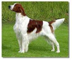 Irish Red and White Setter was the original color of the Irish setter Irish Setter, Pet Dogs, Dog Cat, Labrador Puppies, Retriever Puppies, Corgi Puppies, Baby Puppies, Dogs And Puppies, Dog Pictures
