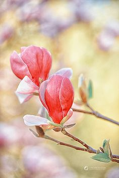 Blooming  Hearts (magnolia flowers)