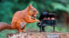 Red squirrel caught 'playing' a grand piano in Scottish forest - Classic FM