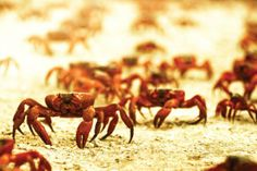 Decimated by predators and dogged by the whims of the weather, each year 50 million red crabs scamper over jagged cliffs and sunbaked sands to the water's edge  the spawning grounds.