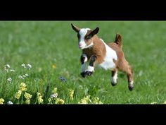 Cute Baby Goats - A Cutest And Funny Goats Baby Videos Compilation|| NEW HD - YouTube