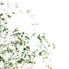 Delicate lace of #thyme. // Délicate dentelle de #thym. by eva.juliet