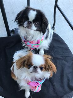 Teacup Puppies, Cute Puppies, Dogs And Puppies, Japanese Chin Puppies, Irina S, Funny Animals, Cute Animals, Chin Chin, Raining Cats And Dogs