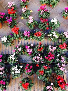 #cyclamen  南仏でもシクラメンは冬の人気鉢花