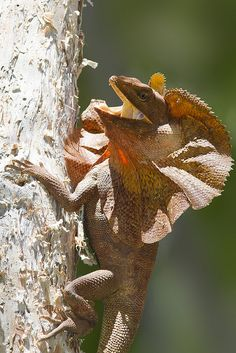 frilled-neck lizard (Chlamydosaurus kingii)
