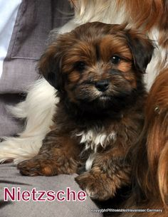 Beautiful Chocolate Brown Adorable Dog - a7e3d30e89baa287f1a32444c536899f--chocolate-brown-cute-dogs  Pictures_926110  .jpg
