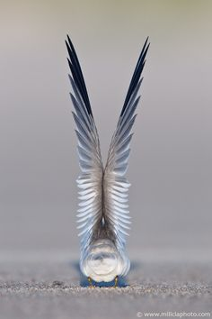 'Preparing for take off'.  Least Tern, Crane Beach, Ipswich, MA | ©Michael Milicia