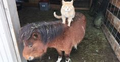 Ce chat est le boss de la ferme et compte bien le faire savoir  Recueilli au sein d'une ferme du Colorado, ce chaton avait pour but d'y chasser les souris. Au lieu de ça, il a surtout décidé d'asseoir son autorité sur les autres animaux…
