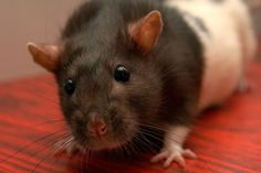What You Need to Know About Your Pet Rat's Teeth