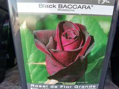 rosa granate oscura aterciopelada. Black Baccara, Painting, Shrubs, Garden Centre, Shades Of Red, Rose Trees, Garnet, Painting Art, Paintings