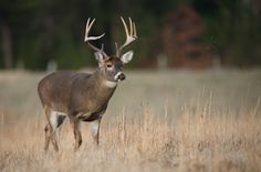 Buck in the Smoky Mountains
