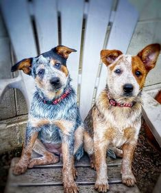 Blue and red heeler aussie cattle dog Australian Cattle Dog, Aussie Cattle Dog, Australian Shepherd, Cute Puppies, Cute Dogs, Dogs And Puppies, Herding Dogs, Dog Rules, Beautiful Dogs