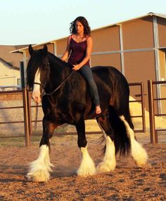 colorful pictures of draught horses | Sundance's Love (aka McLovin)