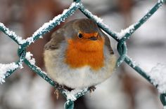 Robin- I think he's had too much birdseed!