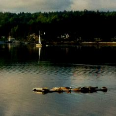 Seals on float out in Liberty Bay Poulsbo Washington