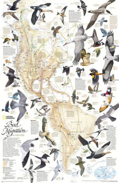 This National Geographic classic shows the mystery of bird migration and the incredible journeys that birds undertake in the Americas each year. 67 types of birds that migrate are shown on a map of the Americas that is overlaid with pathways that show mig National Geographic Maps, Bird Migration, Migratory Birds, Wall Maps, Mundo Animal, Colorful Birds, Fauna, Bird Feathers, Beautiful Birds