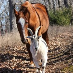 The sweet story of Jack the goat and his friend Charlie the horse