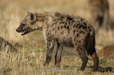 Young Spotted hyena (Crocuta crocuta), Maasai Mara National Reserve, Kenya