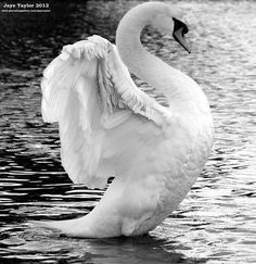 a beautiful swan on a lake in mid-flap