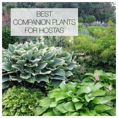 Hostas can hold their own in a shade garden, but pairing them with bulbs and other perennials will accentuate their natural beauty and extend the season. shade garden 12 Best Companion Plants for Hostas Shade Garden Plants, Hosta Plants, Shade Perennials, Best Shade Plants, Hostas For Shade, Plants That Like Shade, Shaded Garden, Flowering Plants, Outdoor Plants