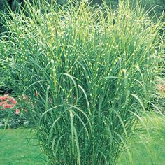 Zebra Grass - Zebra Grass is noted for its showy, yellow, horizontal bands that gleam in the sunlight. Silvery-white plumes rise above the foliage in late summer and last all winter.  Height 4-7'.