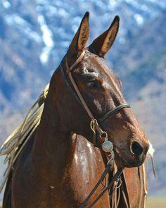 Draft Mule, Mules Animal, Mane Event, Work With Animals, Work Horses, Horse Portrait, Night Owl, Horse Love, Donkeys